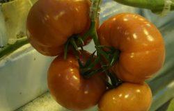 Uprawa nowych odmian pomidorów malinowych…
