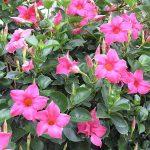 Mandevilla Sundaville Pink_fot. A. Cecot