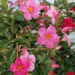 Mandevilla Sundaville Rose Star_fot. A. Cecot
