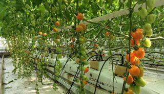Pomidor koktajlowy Apple Orange
