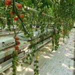 Pomidor koktajlowy Apple Red