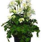 Aquilegia-caerulea-Earlybird-White