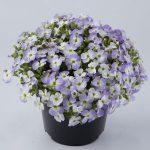 Aubrieta-gracilis-Florado Blue blush bicolour_fot. Florensis