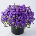 Aubrieta-gracilis-Florado Blue Eye_fot. Florensis