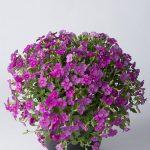 Aubrieta-gracilis-Florado Rose Red_fot. Florensis