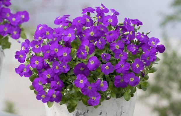 Byliny wiosenne (tu: Aubrieta Kitte® Blue to coraz ważniejsze produkty w sezonowych uprawach roślin ozdobnych pod osłonami), fot. Florensis