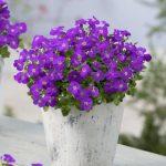 Aubrieta-gracilis-Kitte-Blue_fot. Florensis