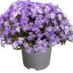 Aubrieta-gracilis-Regado-Blue-White-Bicolour_fot. Florensis