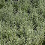 Kocanki włoskie (Helichrysum italicum) 'Aladin__Gospodarstwo Tomczyk