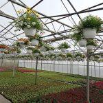 Uprawa roślin na zagonach gruntowych (i w wiszących pojemnikach) w tunelu zblokowanym_Tomczyk_Tropiszow