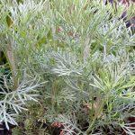 Bylica biała (Artemisia alba) 'Cola