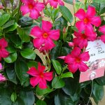 Mandevilla Sundaville Fuchsia Pink_fot. A. Cecot