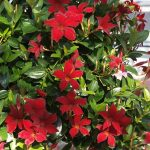 mandevilla Sundaville Burgundy_fot. A. Cecot