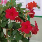 Mandevilla Sundaville Velvet Red_fot. A. Cecot