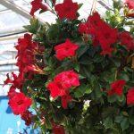 mandevilla Sundaville Grand Red_fot. A. Cecot