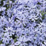 Phlox-subulata-Fabulous-blue-Dark-Center_fot. Florensis