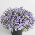 Phlox-subulata-Fabulous-blue-Violet_fot. Florensis