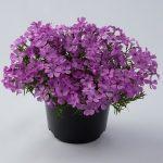 Phlox-subulata-Fabulous-Rose_fot. Florensis