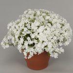 Phlox-subulata-Fabulous-White_fot. Florensis
