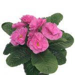 Primula vulgaris Queen F1 Pink-fot. Florensis