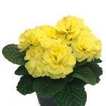Primula vulgaris Queen F1 Yellow-fot. Florensis