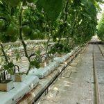 Testowany pomidor o czekoladowych owocach (TG 9159)
