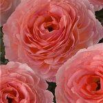 Ranunculus Romance Nohant, fot. Monarch Flowers