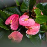 Anthurium Sensa, fot. Amazone Plants