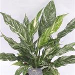 Spathiphyllum Diamond, fot. Crown Yewel Gloriosa