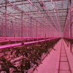 Szklarniowa uprawa pomidora pod lampami LED z firmy Signify
