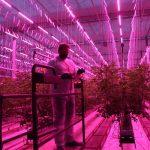 Michał Szymczak z firmy Signify ocenia rozwój roślin pomidora uprawianych pod lampami LED