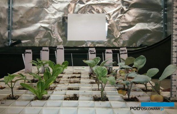 Rozsada warzyw uprawiana pod widmem o zbalansowanym stosunku czerwieni do podczerwieni wykazująca prawidłową morfologię. Rozsada warzyw uprawiana pod widmem o zbalansowanym stosunku czerwieni do podczerwieni wykazująca prawidłową morfologię.