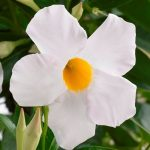 Sundaville Grand White, fot. MNP/Suntory/Plantpol