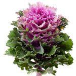 Brassica oleracea Empire Ksenia_Evanthia