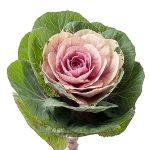 Brassica-oleracea_Empire_Luba_Evanthia