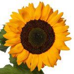 Helianthus annuus Solano Deep Orange - odmiana do uprawy na kwiaty cięte_Evanthia