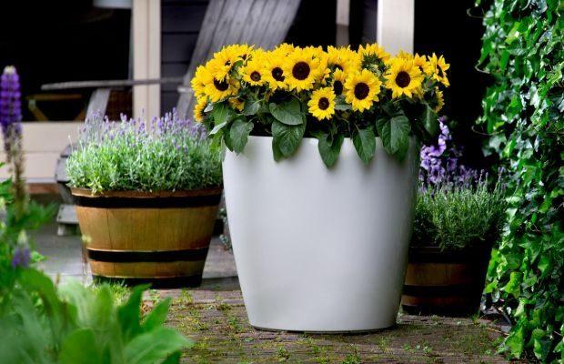 Firma Evanthia znana jest m.in. z hodowli słoneczników - na 1. planie Helianthus annuus Sunsation® Yellow, fot. Evantia
