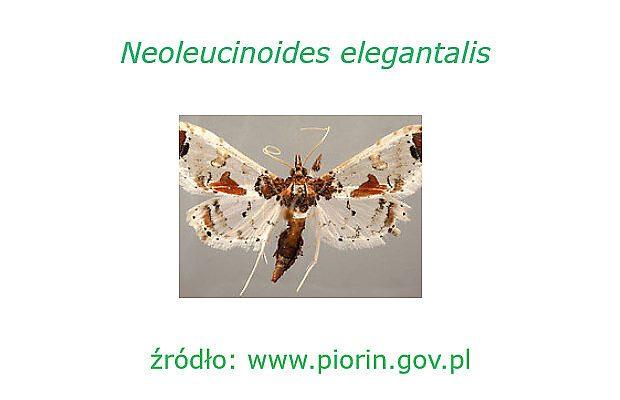 Motyl Neoleucinodes elegantalis (dzięki uprzejmości PIORiN - www.piorin.gov.pl - fot. M. Alma Solis, USDA -ARS, USA)