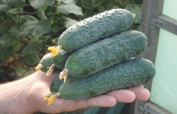 Owoce ogórka Severin są regularnego, cylindrycznego kształtu