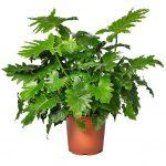 Philodendron_bipinnatifidum_Shangri_La_Evanthia