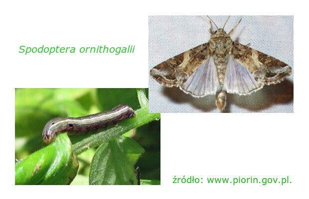 Spodoptera ornithogalli - gąsienica i motyl, źródło: www.piorin.pl