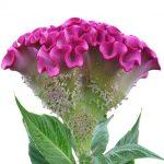 Celosia_argentea_cristata_Turbo Lilac-Rose _Evanthia