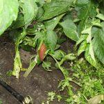 Ślinik wielki żerujący na roślinie pomidora