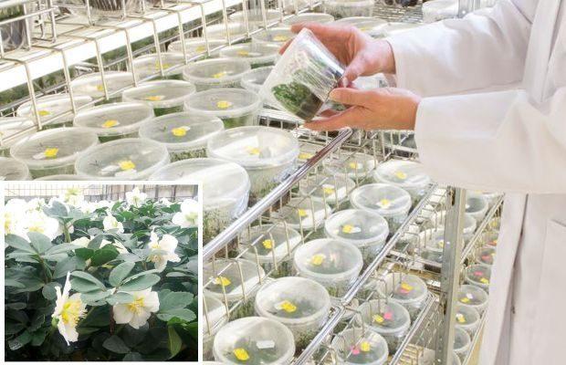 Firma Selecta one® włącza ciemierniki (Helleborus) do swoich prac hodowlanych, fot. Bock Bio Science/Selecta one