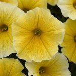 Petunia Bee's Knees_fot. All-America Selections_BallFlora Pant