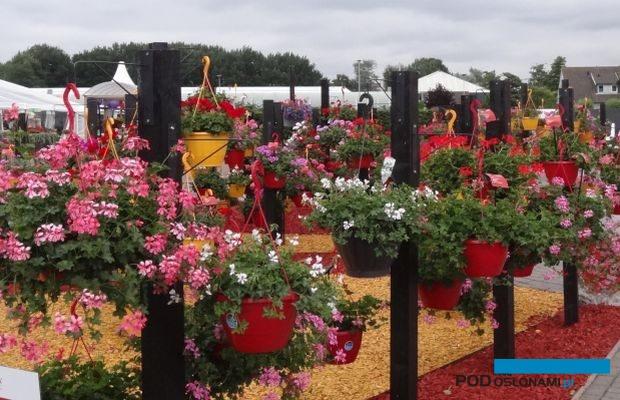 Czerwcowe FlowerTrials w tym roku zastąpi szereg indywidualnych dni otwartych - często w formule online - organizowanych przez firmy hodowlane, fot. A. Cecot