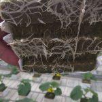 Rozsada ogórka w kostkach Grodan Plantopm podłoże dobrze przerośnięte korzeniami