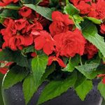 Begonia tuberhybrida Nonstop Joy Red, fot. Benary