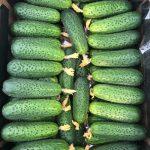 Owoce ogórka odmiany SV0196CV w opakowaniu handlowym