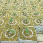 Siewki ogórka w kostkach Grodan Plantop